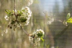 O ramo de árvore com a flor de cerejeira branca bonita pode considerar um th Imagens de Stock Royalty Free