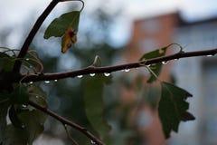 O ramo de árvore com gotas seca o ciose-up da folha fotos de stock