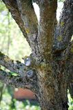 O ramo de árvore da interrupção uma Apple-árvore Jardim e horta fotografia de stock