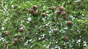 O ramo de árvore da pera completamente dos frutos move-se no vento no jardim orgânico 4K video estoque