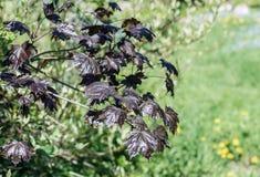 O ramo de árvore verde do bordo vermelho de Sun com jovens sae em um fundo de um jardim borrado na primavera, um tapete da flores foto de stock