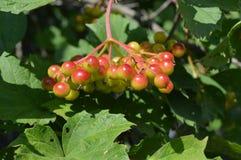 O ramo de bagas do verde da árvore do viburnum Imagem de Stock Royalty Free