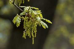 O ramo de carvalho com flores de inclinação do conjunto da mola floresce imagens de stock royalty free