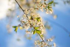 O ramo de florescência da cereja em um céu azul borrou o fundo fotos de stock royalty free