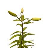 O ramo de OT-híbrido do Lilium dos lírios com as folhas dos botões danificadas Fotografia de Stock