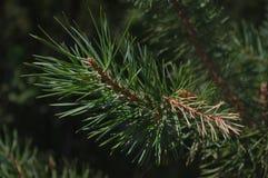 O ramo de sylvestris do pinus Fotos de Stock Royalty Free