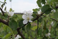 O ramo de uma árvore de maçã de florescência Imagens de Stock