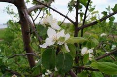 O ramo de uma árvore de maçã de florescência Fotos de Stock