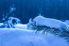 O ramo do abeto é coberto com a neve no fundo borrado da floresta misteriosa da noite Fotografia de Stock Royalty Free