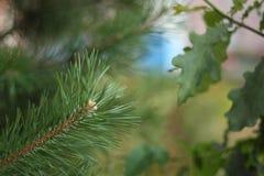O ramo do abeto em um fundo do carvalho sae Foto de Stock