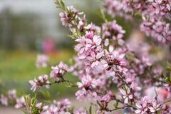 O ramo do arbusto com mola cor-de-rosa floresce no parque Imagem de Stock Royalty Free