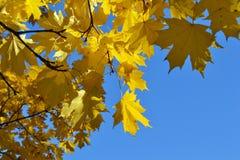O ramo do bordo com amarelo sae contra um céu claro fotos de stock