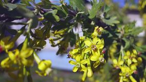 O ramo do corinto de floresc?ncia que balan?a no vento, corintos amarelos das flores no fundo do c?u azul filme