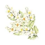 O ramo do jasmim Ilustração da aquarela da tração da mão Imagens de Stock Royalty Free