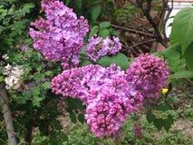 O ramo do lilás de florescência Fotografia de Stock Royalty Free
