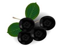 O ramo do melanocarpa preto de Aronia do chokeberry com verde sae no fundo branco Foto de Stock