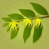 Flores do Ylang-ylang Imagem de Stock Royalty Free