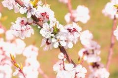 O ramo novo da cereja da mola floresce o close-up no bokeh colorido b Fotos de Stock
