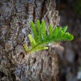 O ramo novo pequeno do pinho cresce de um tronco velho grosso como um símbolo do nascimento da geração de outra maneira ocupada n fotografia de stock
