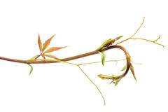 O ramo, pouca folha do parthenocissus isolou o fundo branco Imagem de Stock Royalty Free