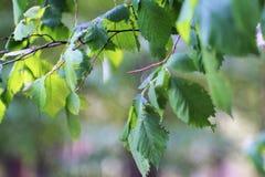 O ramo triste das folhas de um verde do Linden com um anseio nacionaliza imagem de stock