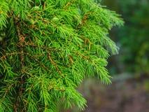 O ramo verde do zimbro Fotos de Stock