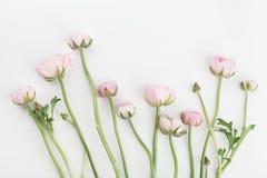 O ranúnculo bonito da mola floresce no fundo branco de cima de Beira floral cor-de-rosa Cor pastel Modelo do casamento Configuraç