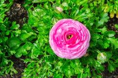 O ranúnculo ou o botão de ouro cor-de-rosa bonito bonito florescem no parque centenário, Sydney, Austrália foto de stock