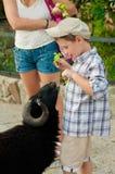O rapaz pequeno alimenta os carneiros ao jardim zoológico Imagem de Stock Royalty Free