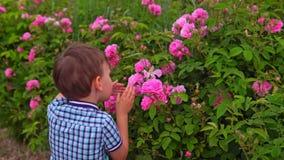 O rapaz pequeno aspira rosas no jardim de florescência video estoque