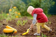 O rapaz pequeno escava o trabalho com pá de camas no quintal depois que a colheita próximo é abobrinha recolhido foto de stock