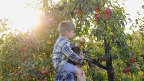 O rapaz pequeno escolhe uma maçã de uma árvore vídeos de arquivo