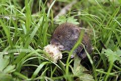 O rato come o pão Foto de Stock Royalty Free