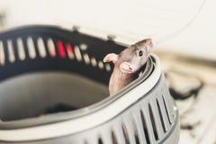 O rato está em uma gaiola Espreitadelas para fora Imagens de Stock