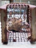 O rato estava em uma gaiola que trava um rato o rato tem o contágio a doença aos seres humanos tais como a leptospirose, praga fotos de stock royalty free