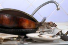 O rato novo do close-up escala em pratos sujos na banca da cozinha imagem de stock royalty free