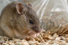 O rato pequeno do close up rói uma grão do centeio próximo do pacote da grão Foto de Stock