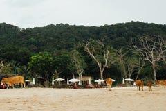 O rebanho acobarda caminhadas ao longo da praia arenosa do mar contra o monte verde do fundo Fotografia de Stock