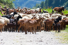 O rebanho da cabra na estrada Imagem de Stock Royalty Free