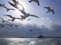 O rebanho da cauda preta gull imagem de stock royalty free
