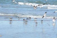 O rebanho da gaivota dirige ao céu quando alertado ao perigo imagem de stock royalty free