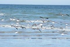 O rebanho da gaivota move-se rapidamente para uma área diferente quando surpreendido imagem de stock