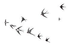O rebanho da silhueta dos pássaros engole Fotografia de Stock