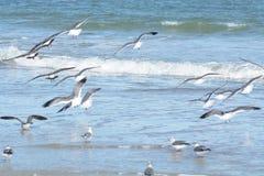 O rebanho das gaivotas decola para evitar a ameaça perseived terrestre imagem de stock royalty free