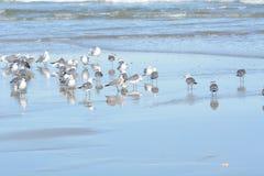O rebanho das gaivotas descansa em uma linha costeira da praia da ilha imagem de stock royalty free