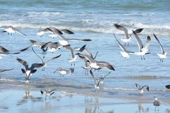 O rebanho das gaivotas toma ao ar de seu ponto de descanso da associação maré fotos de stock royalty free