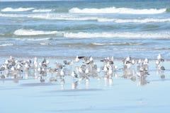 O rebanho das gaivotas toma ao ar de sua associação maré cresce enquanto mais pássaros se juntam ao recolhimento imagens de stock