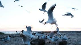 O rebanho das gaivotas voa rapidamente em sentidos diferentes ao mar na noite no close-up do por do sol video estoque