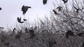 O rebanho das gralhas senta-se em árvores de porca do fruto para procurar nozes vídeos de arquivo