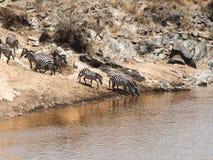 O rebanho das zebras está estando na inclinação perto da água e bebe no Masai Mara National Park Imagens de Stock